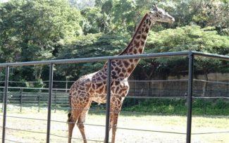 Girafa fica no RJ
