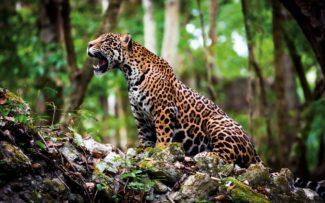 Devastação ambiental e agricultura sem planejamento ameaçam a Onça-pintada
