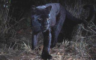 O raríssimo Leopardo negro africano