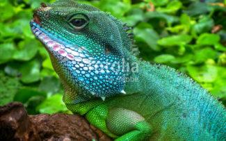 Fêmea de espécie de lagarto consegue gerar filhotes sem a presença de macho