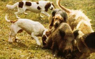 Comissão discute na terça uso de cães e armas brancas na caça de javalis