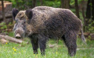 Norma do Ibama sobre caça de javali é tema de debate