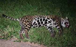 Lei sobre armas pode liberar caça de animais silvestres, dizem ambientalistas