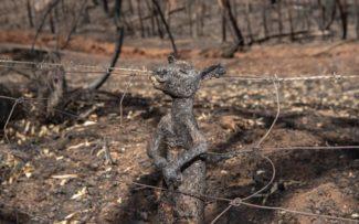 Austrália: 1 bilhão de animais mortos