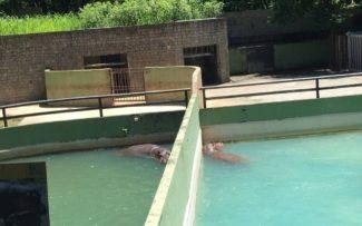 Visita da OAB a obras do Zoológico do Rio termina com boa notícia para casal de hipopótamos, separados há anos