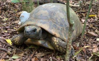Jabuti-tinga volta ao Parque Nacional da Tijuca depois de 200 anos extinto