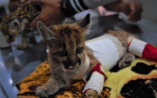 AGU pede cassação de liminar que proíbe abate de animais apreendidos por maus-tratos