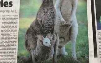 Raríssimo canguru albino nasce na Austrália