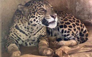 Curada, onça resgatada de incêndio no Pantanal não conseguirá voltar à natureza