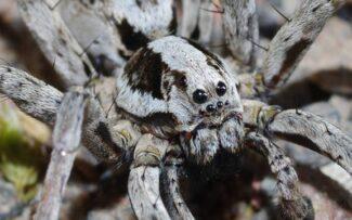 Aranha especialista em camuflagem na lista de extinção