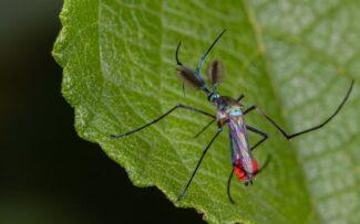 Maior mosquito do mundo gosta de néctar e é inofensivo