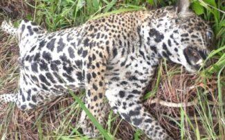 Caça de animais-não humanos se torna ameaça à saúde pública dos animais humanos