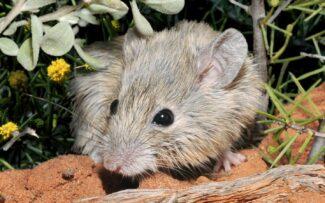 Espécie de rato é redescoberta na Austrália após 164 anos desaparecida