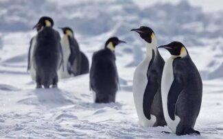 Pinguins podem ser extintos em 80 anos